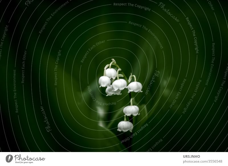 Lily of the valley hides behind dark green May venomously heralds of spring Plant Nature bleed flowers Copy Space Dark green White Shallow depth of field