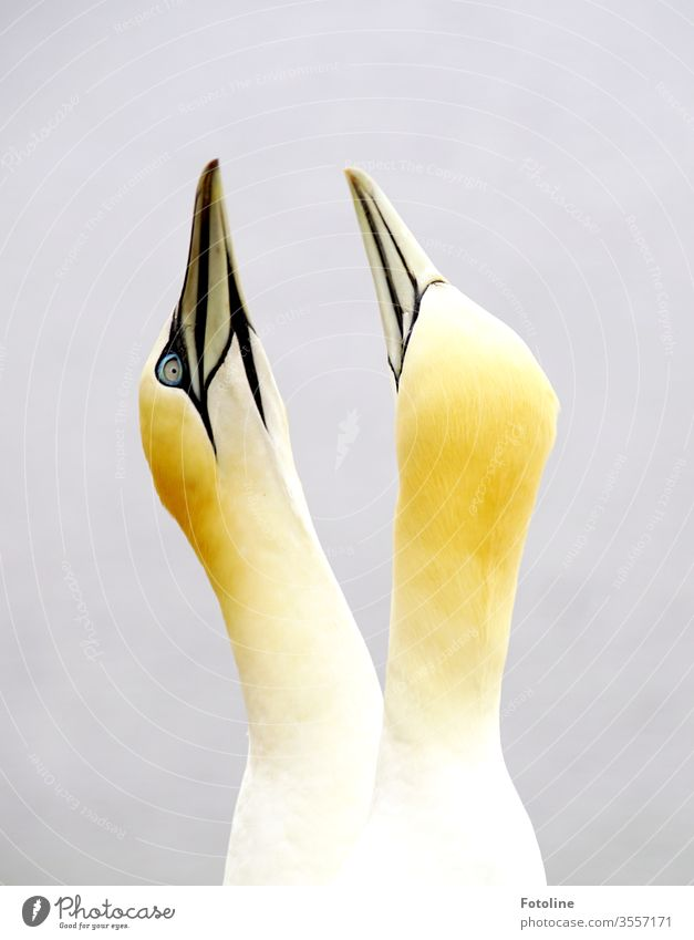 pair of gannets courtship on the bird rock on the island of Helgoland Northern gannet birds Animal Nature Exterior shot Colour photo Day Wild animal Deserted