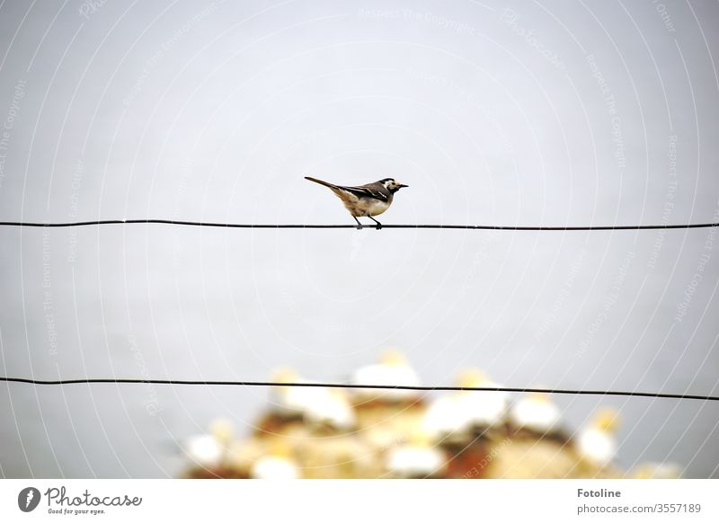 A small wagtail sits on a fence and watches the loudly chattering gannets on the bird rock of Helgoland Wagtail birds Animal Nature Exterior shot Colour photo 1