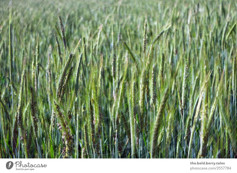 wheat field Field Wheatfield Grain Grain field Grain ear Wheat ear spike green Nature Plant Agricultural crop Summer Agriculture Growth Ear of corn Cornfield