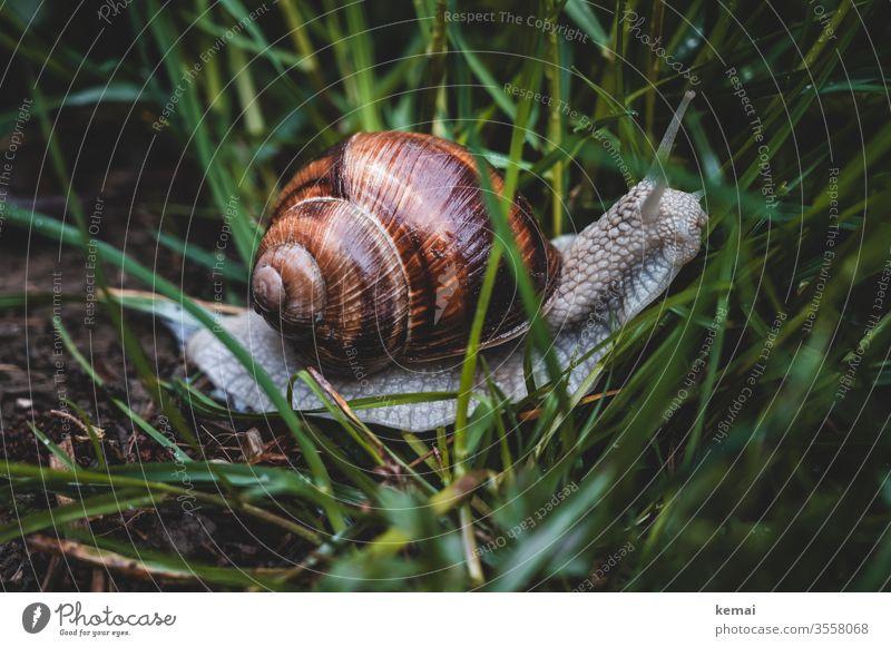 escargot Crumpet fauna Snail shell creep Grass great Wild animal Animal Glittering Brown green Close-up Nature Animal portrait Worm's-eye view Feeler Slimy