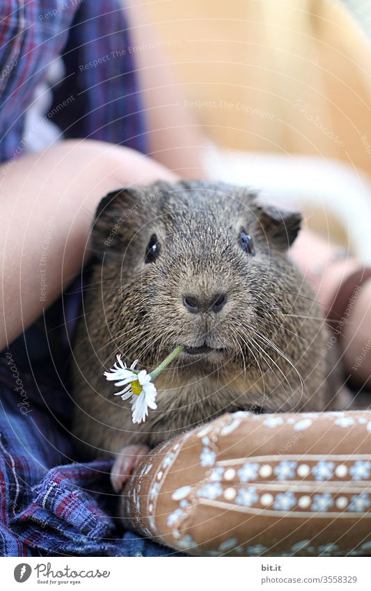 Flowers for Mausi Guinea pig Pet Daisy flowers bleed To feed Eating Feeding Animal Animal portrait Animal face Love of animals Caress Sit To enjoy Cute Pelt