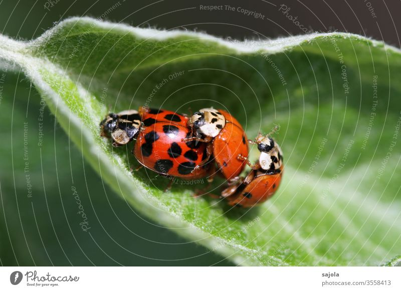threesome - asian ladybirds Ladybird Asian ladybird Beetle Insect Red Macro (Extreme close-up) Animal green Nature Plant Colour photo luck Exterior shot spring