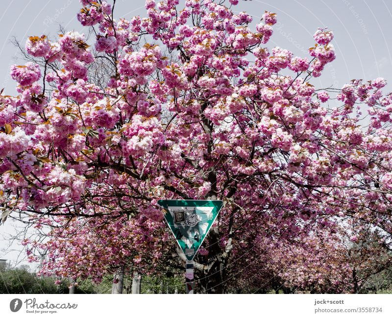 Signs of protected green spaces amidst blossoming cherry blossoms Blossoming spring Cherry Cherry blossom Pink Cherry tree Nature Park wall park bleed