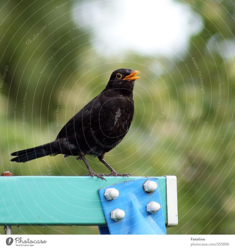 blackbird concert Environment Plant Animal Garden Park Wild animal Bird 1 Natural Blue Green Black Blackbird Masculine blackbird male Beak Feather Colour photo