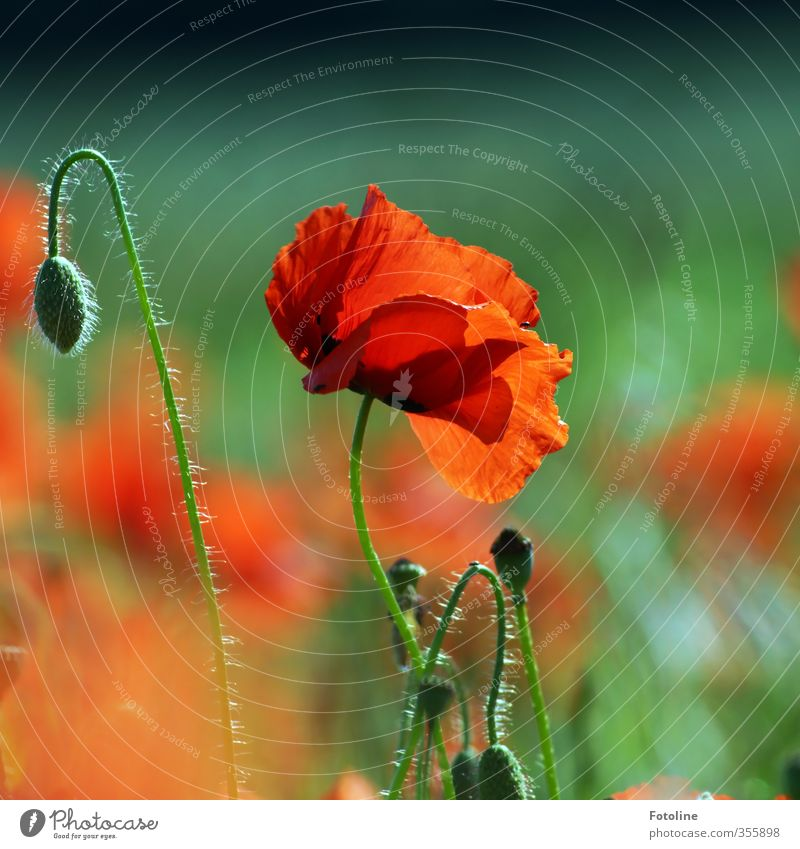 Red as...poppy seed Environment Nature Plant Summer Beautiful weather Flower Blossom Garden Park Field Near Natural Warmth Green Poppy blossom Poppy field