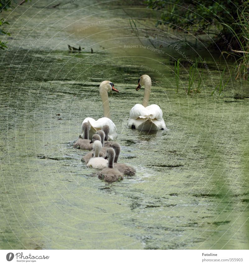 Family outing to the countryside Environment Nature Plant Animal Elements Water Spring Brook River Wild animal Bird Swan Baby animal Animal family Wet Natural
