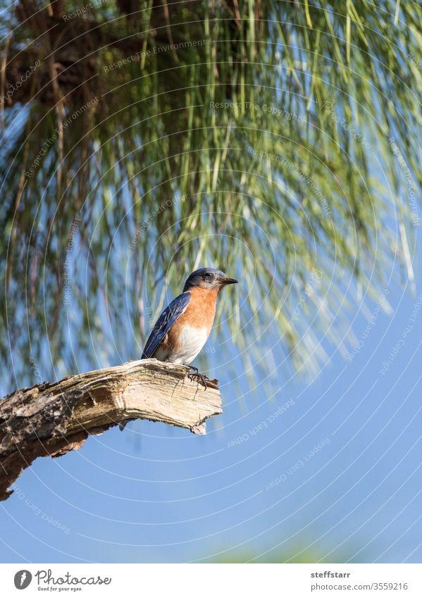 Male eastern bluebird Sialia sialis perches on a branch high in a tree Blue bird alert Florida wild bird male nature Florida bird spring large eyes cute beak