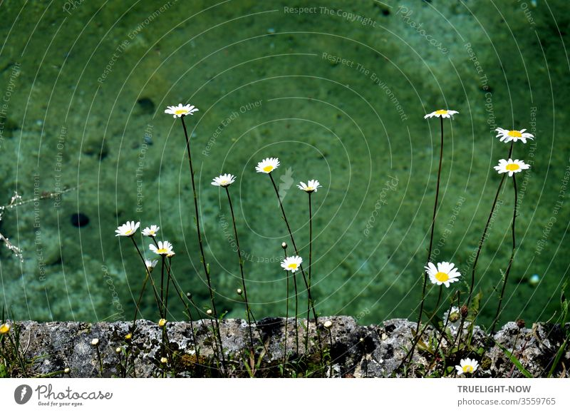 Some bright daisies flowers keep distance from each other on a grey, ancient stone wall covered with moss in front of a pool with blue-green shimmering water