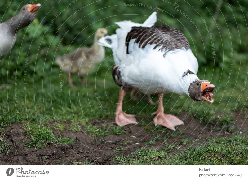A goose defends its chick or goose and hisses at the attacker Goose Animal Farm Beak Keeping of animals White wild animals green Wild Indigenous Nature Poultry