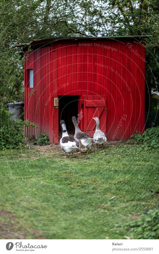 Free range geese go to their stable in red on a meadow Free-range rearing goose house Goose Keeping of animals Gosling Farm Beak Flock Chick Red White green