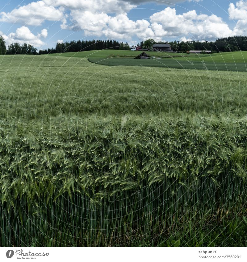 A green field of barley, in the foreground the styles and the ears of corn can be seen as structures, the field extends into the depth of the picture space, other fields follow at the right back. Forest on the horizon line just below the edge of the picture, clouds