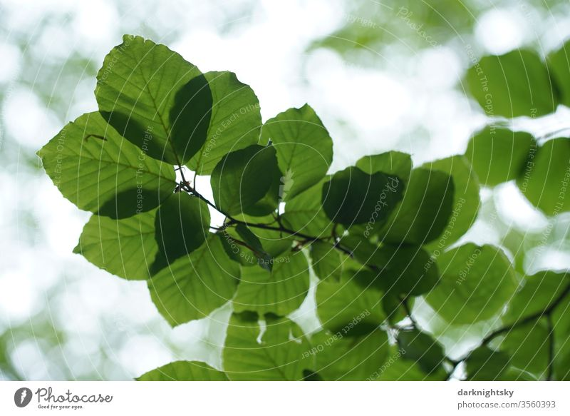 Leaves of a beech against the light texture flaked green tree detail Plant fagus Fagaceae natural botanical Nature leaves Pattern Close-up macro Environment