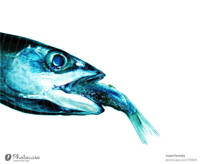 Blue Success Fish Captured To feed Barn Muzzle Photographic technology Gill Devour Mackerel