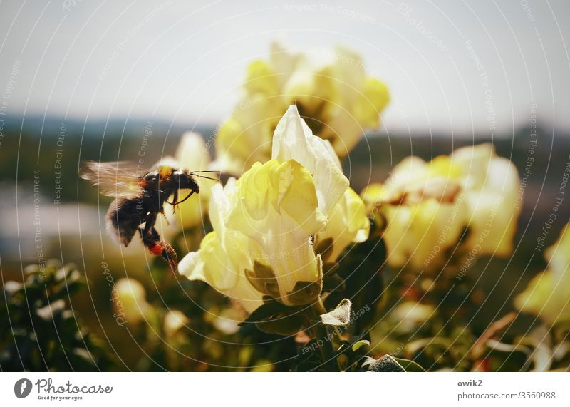 Hunters and Collectors Bumble bee running hovering hover flight Insect Macro (Extreme close-up) bleed Nature Exterior shot Plant flowers BlossomBalcony
