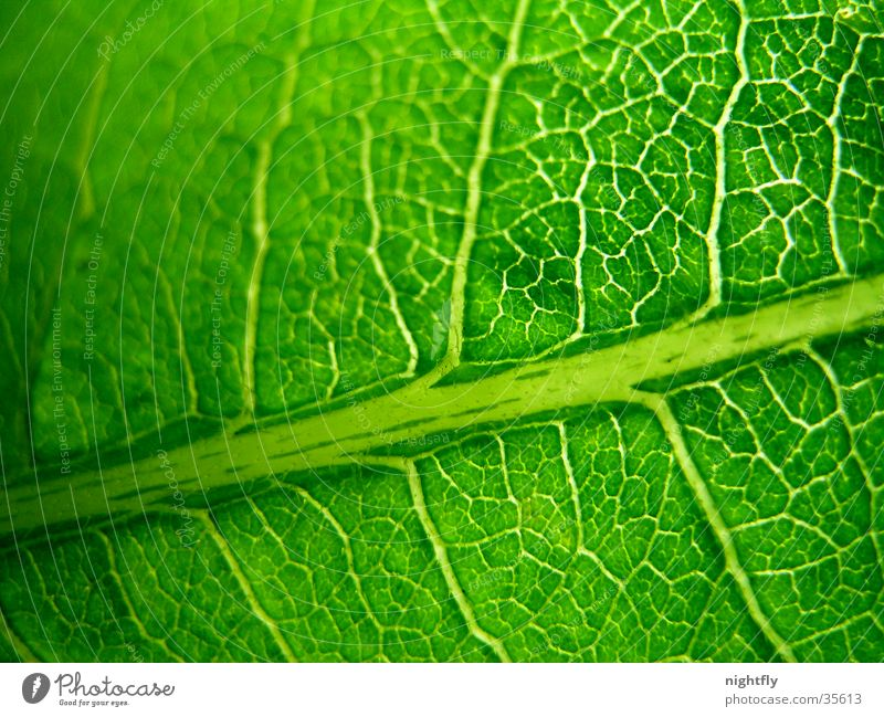 green veins Colour photo Detail Macro (Extreme close-up) Pattern Nature Plant Tree Leaf Fresh Natural Clean Green Orderliness Purity Contentment Design Energy