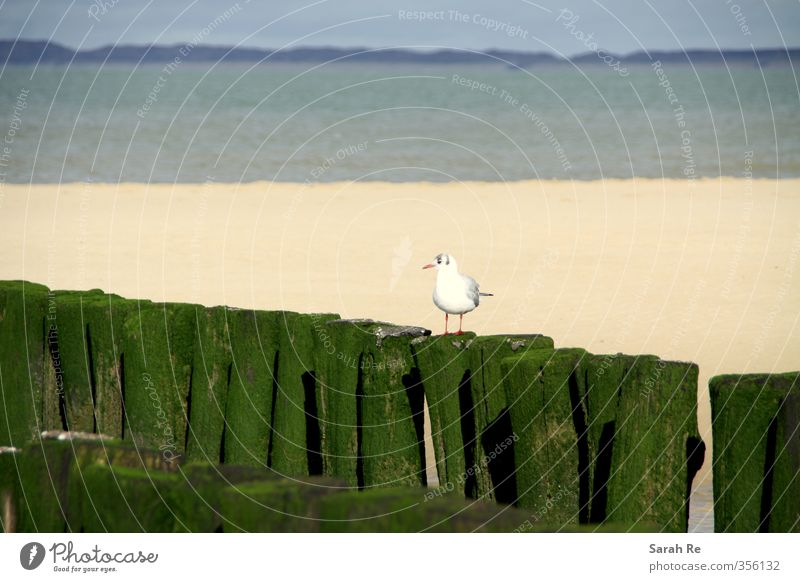 Seagull on the beach Beach Ocean Nature Landscape North Sea Bird 1 Animal Watchfulness Calm Loneliness Freedom Stagnating Colour photo Exterior shot Contrast