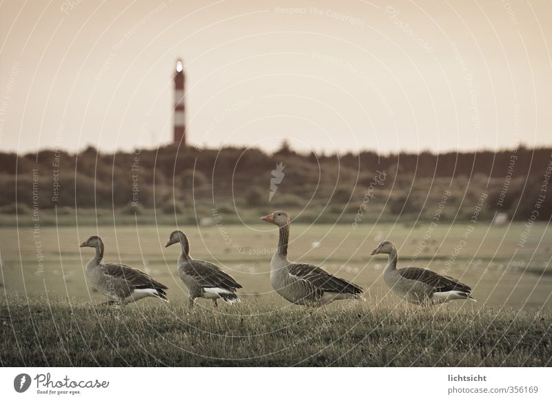 homeward Nature Landscape Sky Meadow Field Coast North Sea Island Bird 4 Animal Group of animals Animal family Going Waddle Goose step Amrum Lighthouse Lamp