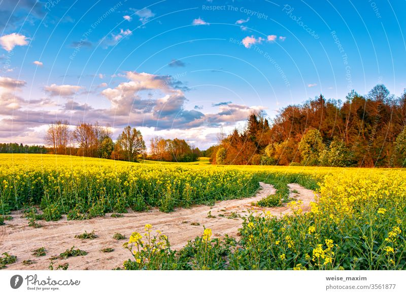 Rural dirt road on blossom canola farm. Oilseed blooming. flower field nature sunset yellow spring summer rural clouds landscape rapeseed green background