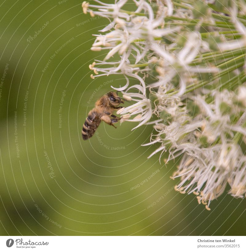 Small busy bee on white ornamental garlic / allium Bee Insect Nature Close-up Animal Pollen flowers bleed Plant Garden insects Insect repellent Farm animal