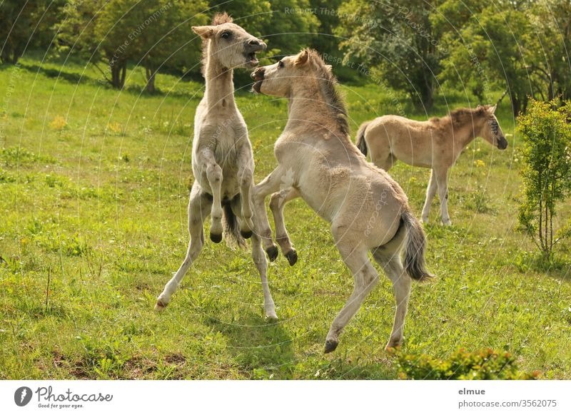three playing wild horse foals in the green Foal Horse Playing ranking fight Power struggle Wild Horse's bite Go up Stand in the country Meadow Baby animal