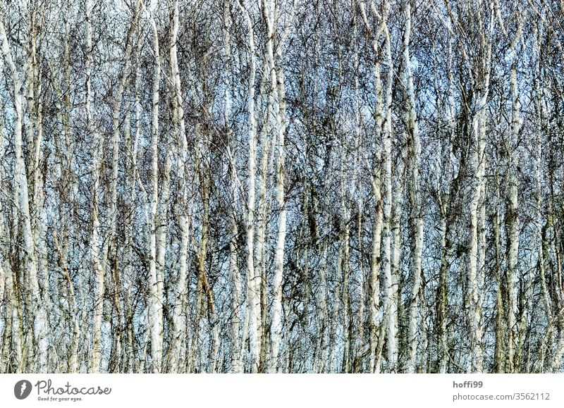 the rustling of the birches Birch wood Birch leaves Birch tree Nature Plant Forest Abstract spring Landscape Environment green Summer