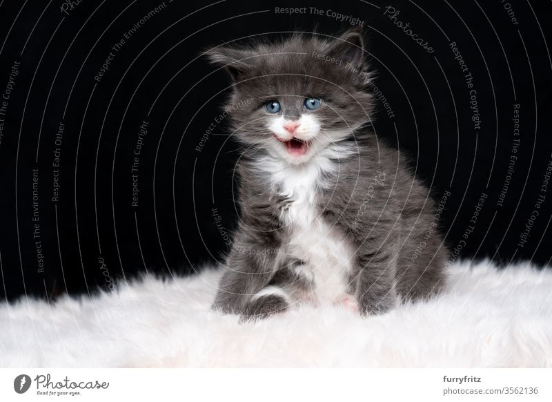 cute blue white maine coon kitten licking her lips against a black background Cat maine coon cat Longhaired cat purebred cat pets Cute Enchanting Diminutive
