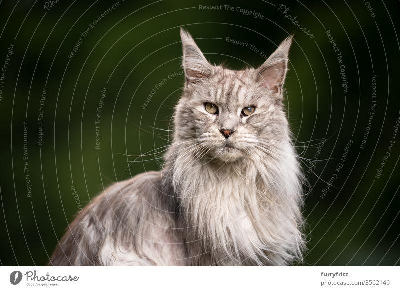 10 year old Maine Coon cat with cataract eye disease Cat maine coon cat Longhaired cat purebred cat pets Pelt Fluffy feline already silver tabby Copy Space