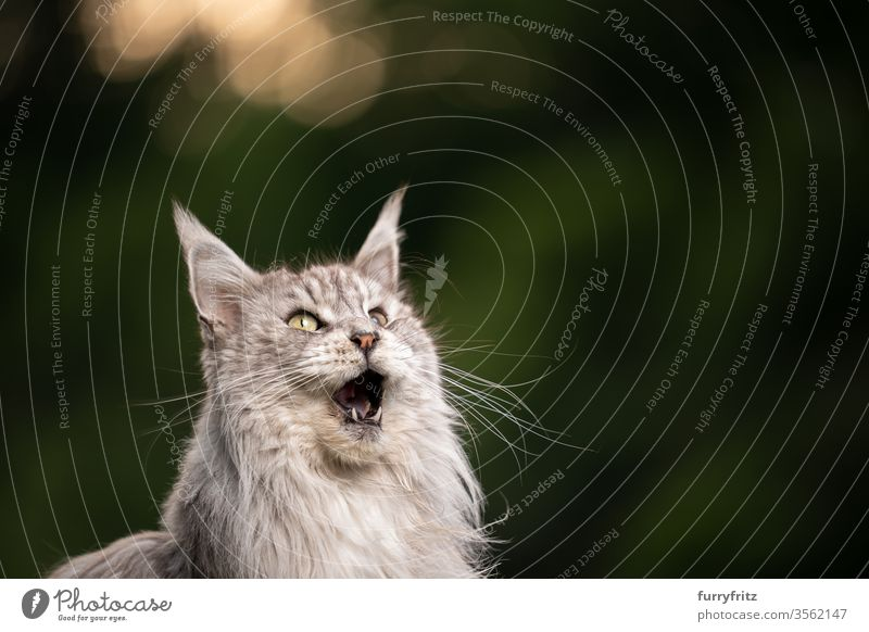 10 year old Maine Coon cat with open mouth meows and looks up Cat maine coon cat Longhaired cat purebred cat pets Pelt Fluffy feline already Funny silver tabby