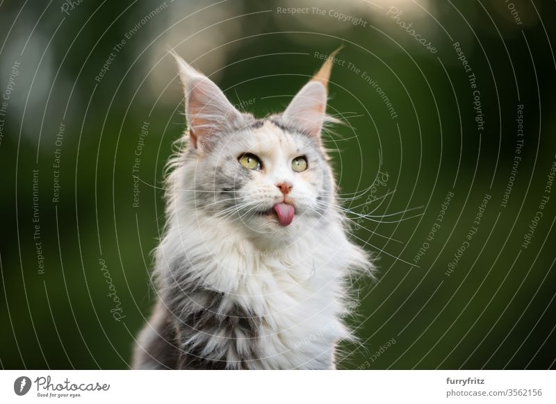 funny portrait of a white Maine Coon cat sticking out its tongue Cat maine coon cat Longhaired cat purebred cat pets Cute Enchanting Pelt Fluffy feline already