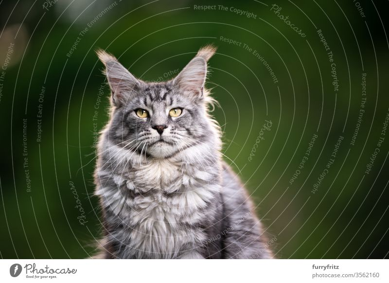 Portrait of a beautiful Maine Coon cat outdoors in nature Cat maine coon cat Longhaired cat purebred cat pets Pelt Fluffy feline already silver tabby Copy Space