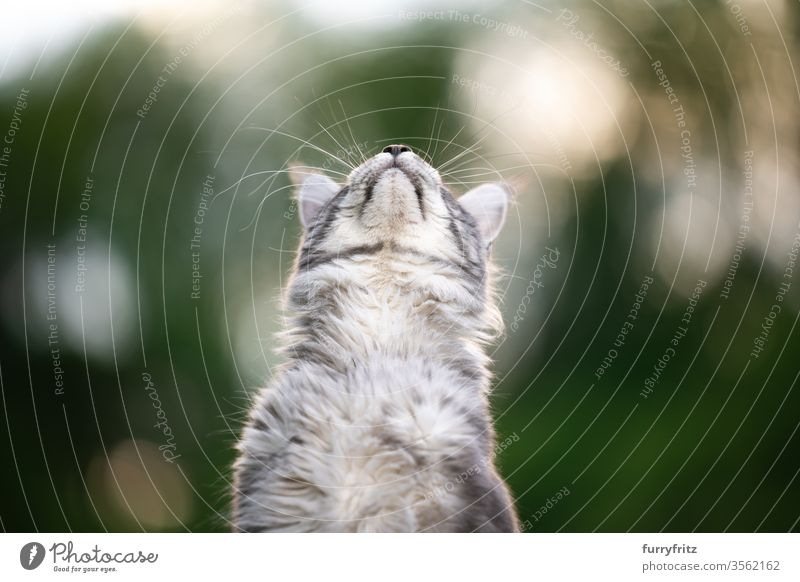 Maine Coon cat, looking up at the sky out in nature Cat maine coon cat Longhaired cat purebred cat pets Cute Enchanting Pelt Fluffy feline already silver tabby