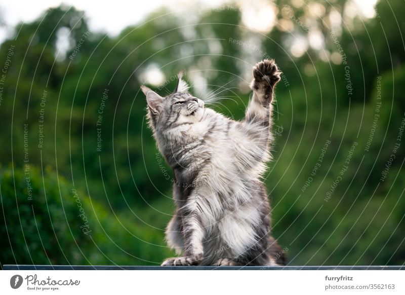 Maine Coon cat outside in the garden playing Cat maine coon cat Longhaired cat purebred cat pets Pelt Fluffy feline already silver tabby Copy Space One animal