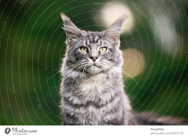silver tabby Maine Coon cat outdoors in nature looking into the camera Cat maine coon cat Longhaired cat purebred cat pets Pelt Fluffy feline already Copy Space