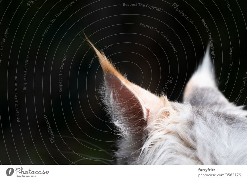 Close up of the ears of a Maine Coon cat with long hair Cat maine coon cat Longhaired cat purebred cat pets Pelt Fluffy feline already White Copy Space