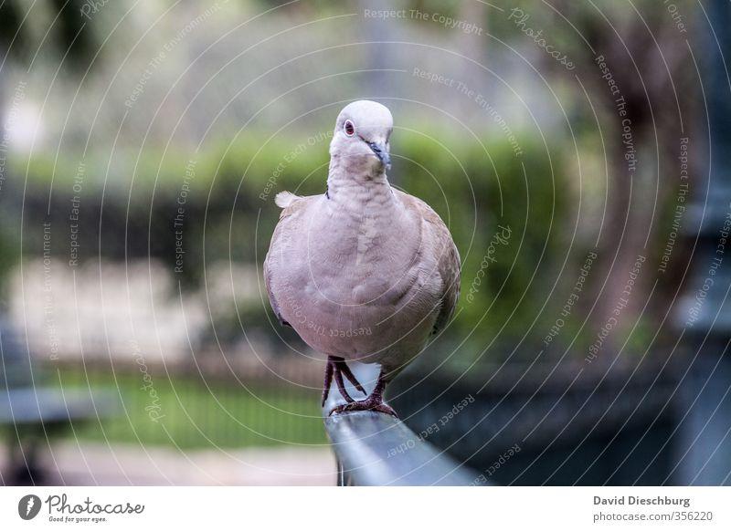 Blue Green White Animal Black Bird Park Walking Feather Handrail Animal face Pigeon Catwalk Swagger