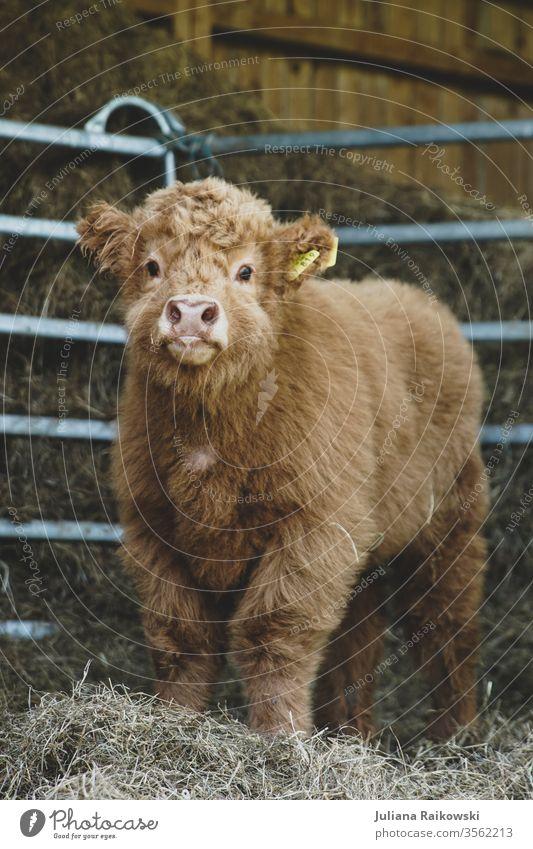 sweet highland beef calf Calf highland cattle Highland cattle Animal chill Farm animal Exterior shot Brown Cattle horns Animal portrait Pelt Nature Sweet Baby