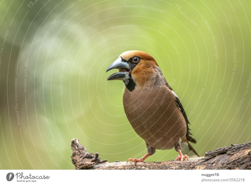 hawfinch sitting on a branch Hawfinch songbird birds Animal Exterior shot Colour photo Nature 1 Day Wild animal Animal portrait Deserted Shallow depth of field
