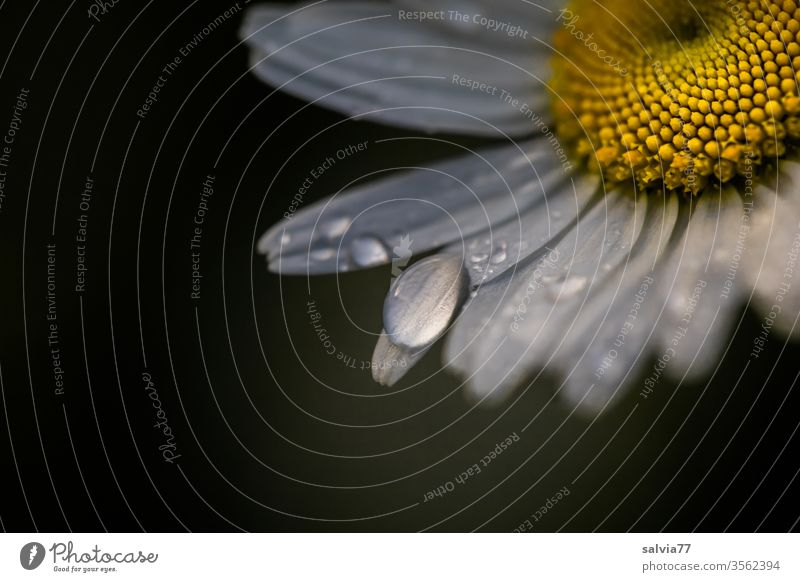 Raindrops on daisy blossom against a dark background bleed Marguerite flowers Drop raindrops Plant Blossom leave Fresh Dew Wet Macro (Extreme close-up)