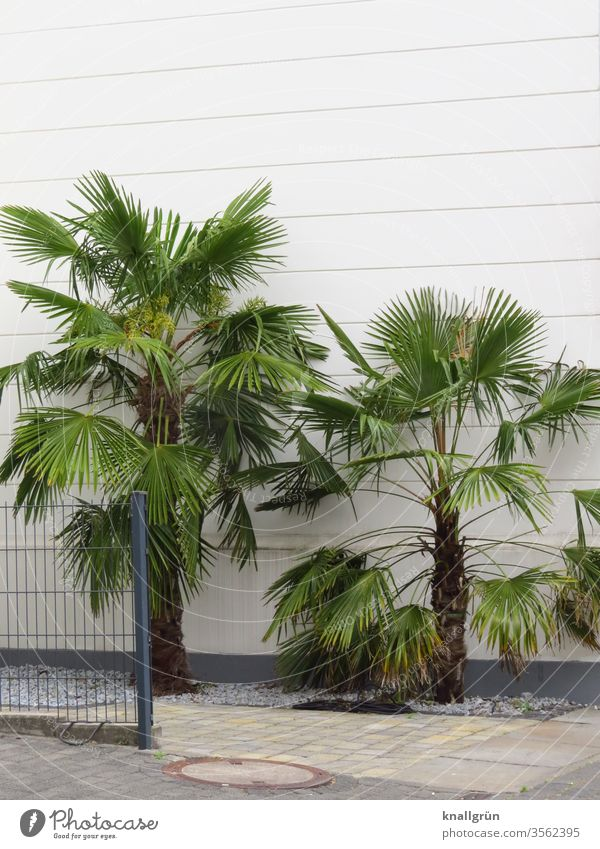 Two palm trees in front of a white house wall, surrounded by white pebbles and paved sidewalk, on the left side a metal fence palms Garden Nature