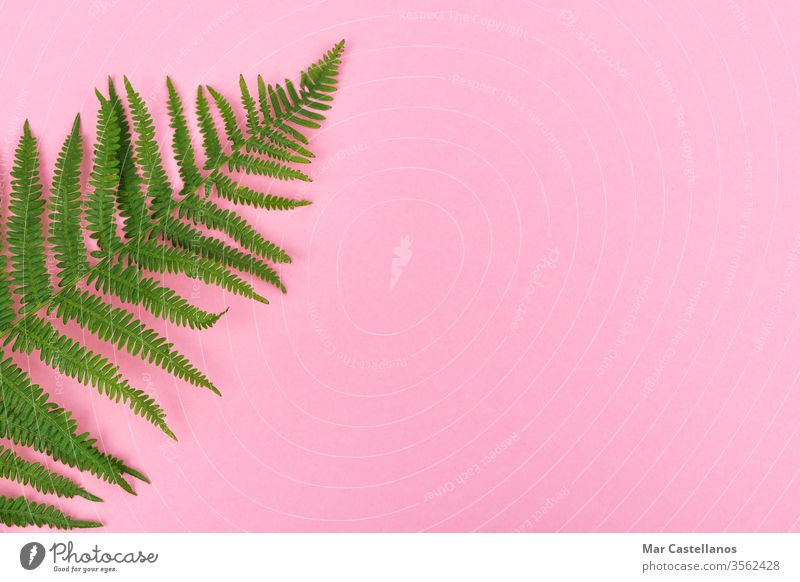 Fern leaf on pink background with space for copy on the right. Top view. Concept of graphic resources. fern leaves postcard flora top view copy space ad