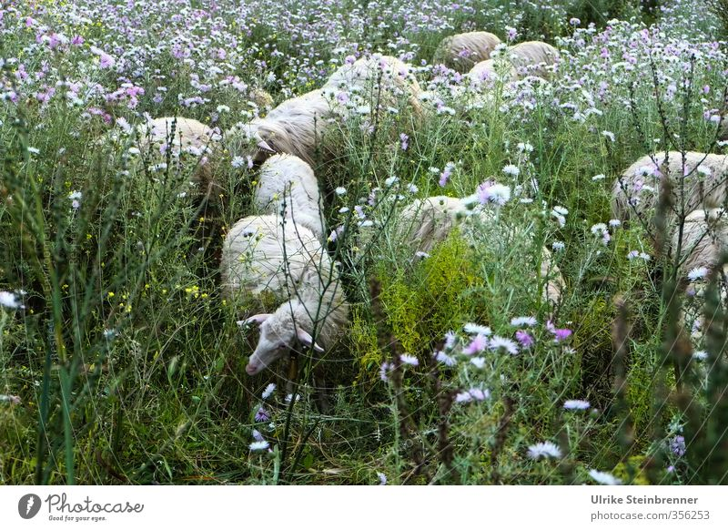 Lost in Vegetation Vacation & Travel Tourism Environment Nature Landscape Plant Animal Spring Flower Grass Bushes Wild plant Meadow Island Pet Farm animal Sheep
