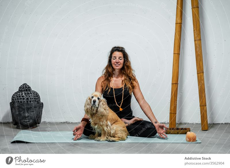 Serene woman practicing yoga in Lotus pose near dog lotus pose meditate practice padmasana content concentrate calm female serene english cocker spaniel animal