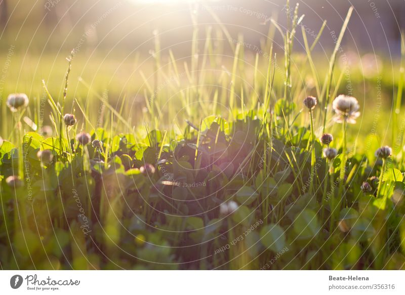 Morning Has Broken Summer Nature Landscape Sun Sunlight Beautiful weather Plant Grass Clover Meadow Discover To enjoy Glittering Natural Green Emotions