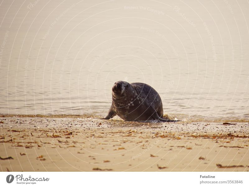 After an extensive bath, the grey seal comes ashore cobbled to doze and dry in the sun. Gray seal Mammal Wet Animal Nature Wild animal Exterior shot