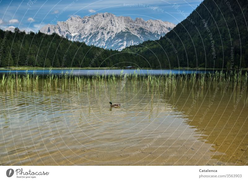 A duck swims in a mountain lake Wild animal Alps Peak birds Duck Lake Water Mountain Beautiful weather Landscape Nature Sky Plant Forest Juncus Blue Lakeside