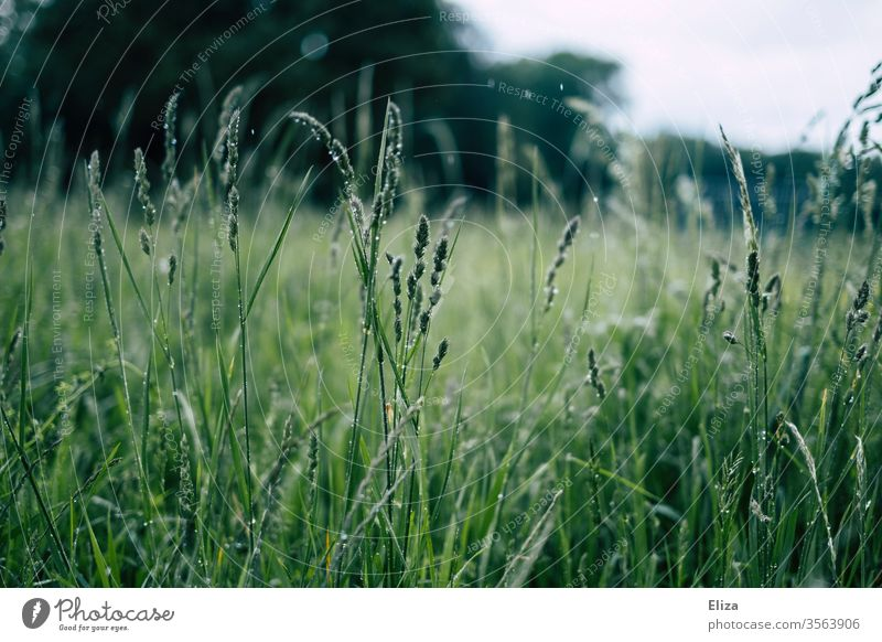 Wet grasses on a green meadow in rain Meadow Rain Drop Rainy weather Drops of water Nature Dew Grass Damp Plant out