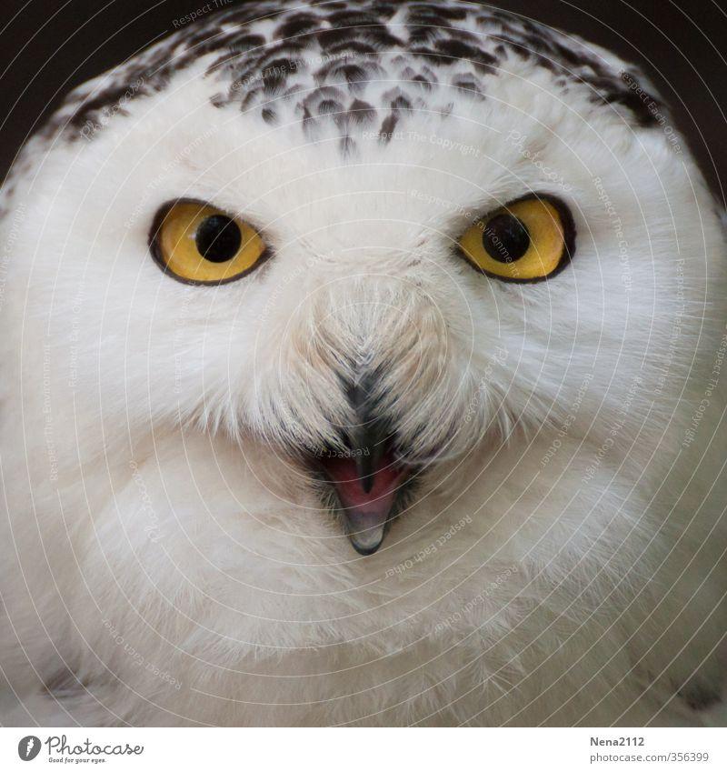 is what? Environment Nature Animal Bird Animal face 1 Scream Aggression Esthetic Fantastic Yellow White Owl birds Snowy owl Eyes Beak Colour photo Exterior shot