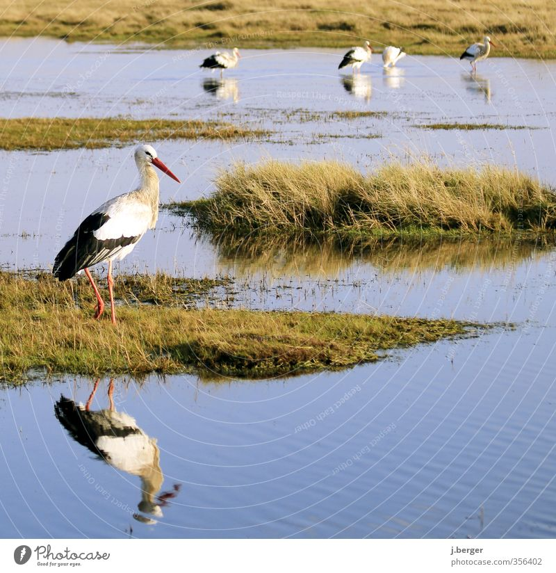 shrikes Animal Wild animal Bird Group of animals Flock Animal family Blue Green White stork Mud flats Wet meadow North Sea Coast Ocean Reflection