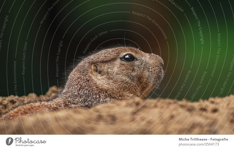 Prairie dog looks out of his den Cynomys Ground squirrel North America Animal Wild animal Nature Animal face Head Eyes Nose Muzzle Ear Pelt construction Cave